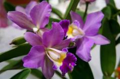 新加坡的国花是什么(新加坡的国花叫什么名字)